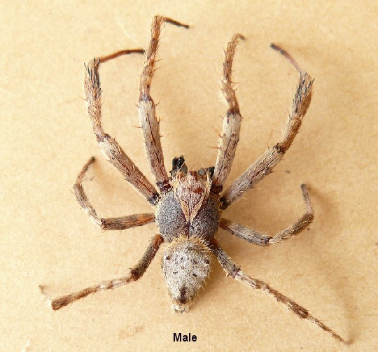 Unknown Spider from Australia looks like male Garden ...
