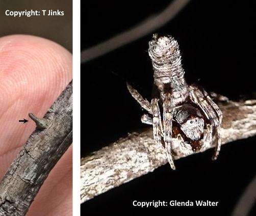 http://www.findaspider.org.au/find/spiders/images/154J10.jpg