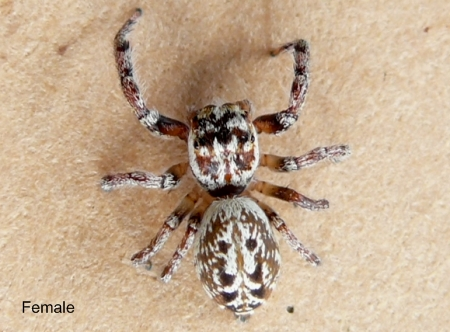 The Find-a-spider Guide - jumping spider