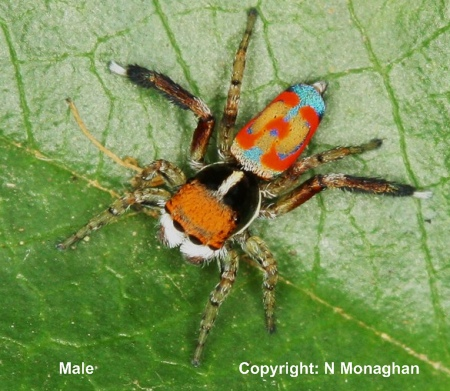 IMAGE: http://www.findaspider.org.au/find/spiders/images/495A10.jpg