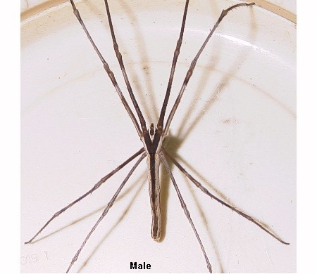 Insect that looks like a daddy long legs 10